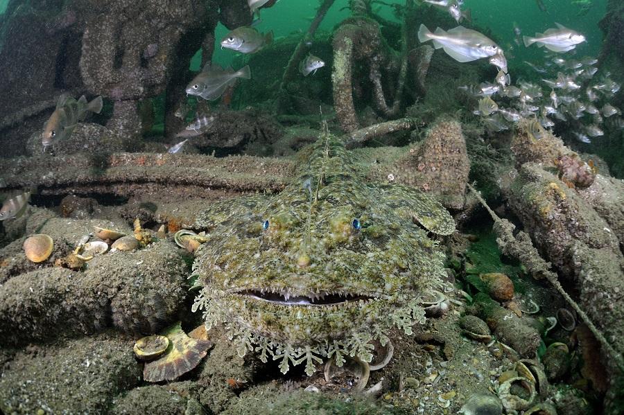 Les baudroies ne sont pas rares sur l'épave du 38 mètres. ©Bruno Guénard