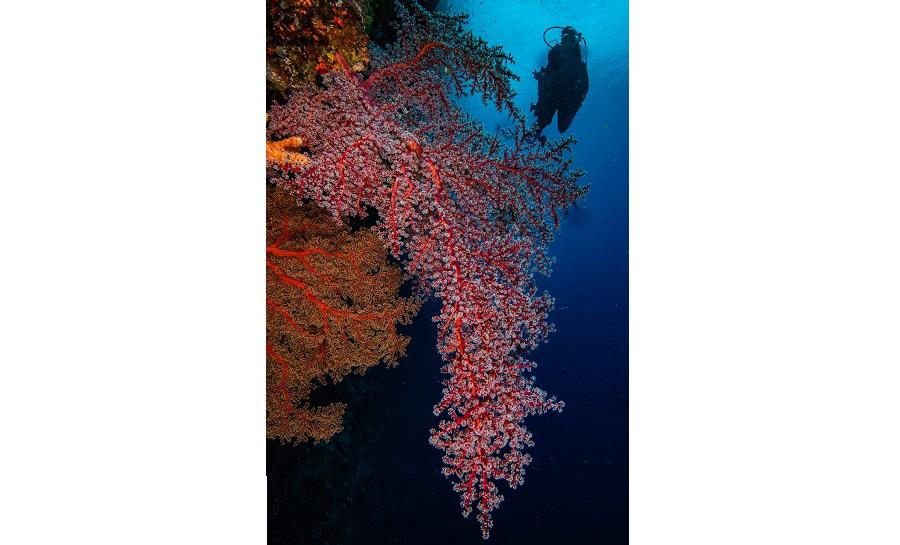 Coraux et gorgones immenses colorent les eaux de Palau. ©ASLS