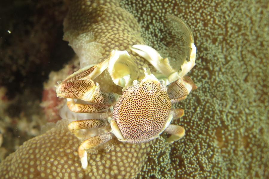 Crabe-porcelaine sur son anémone. © Sandrine Leveugle-Souan