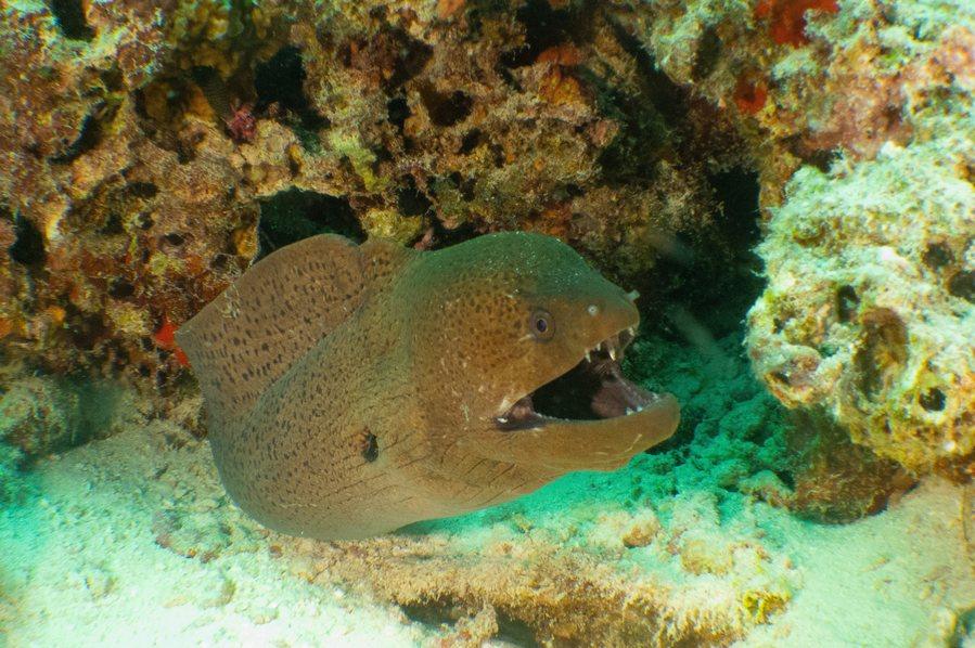 L'une des nombreuses murènes présentes sur l'ensemble des récifs maldiviens. © SLS