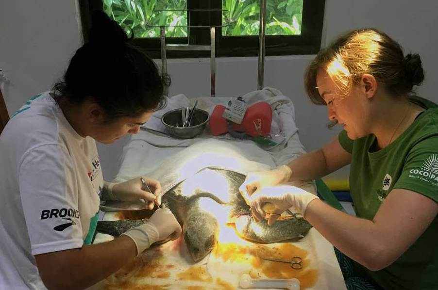 Opération d'une tortue blessée au centre de sauvetage Olive Ridley. © ORP.