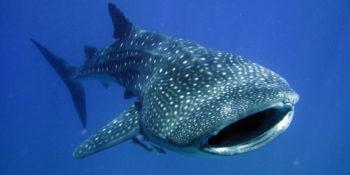 Requin-baleine festival Underwater