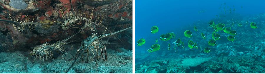 Rassemblement de langoustes et banc de poissons-papillons (Chaetodon lunula) sur les récifs. ©René Heuzey