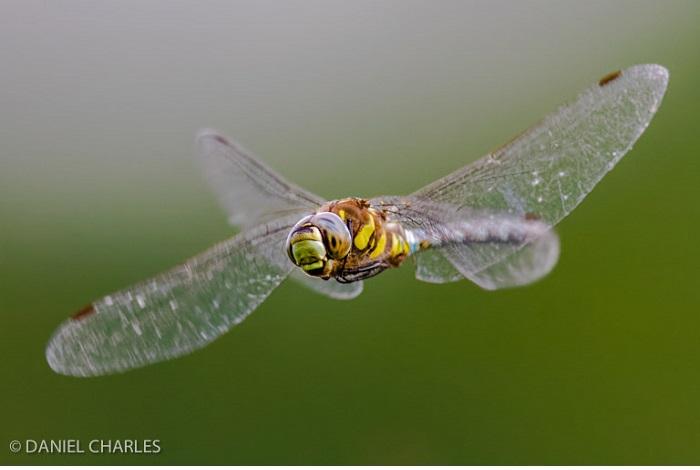 """Catégorie autres animaux sauvages de plaine nature """"Aeschne"""". © Daniel Charles."""