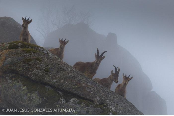 """Catégorie séquences images fixes """"Chèvres dans le brouillard"""". © Juan Jesús Gonzales Ahumada."""
