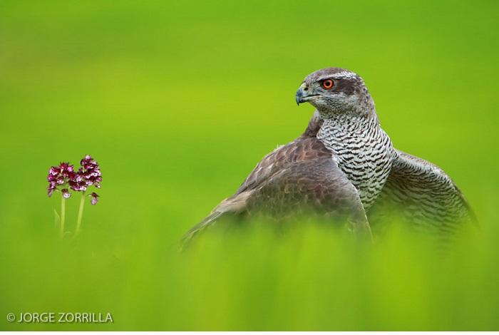 "Catégorie oiseaux sauvages de pleine nature ""Northern goshawk and orchid"". © Jorge zorrilla."