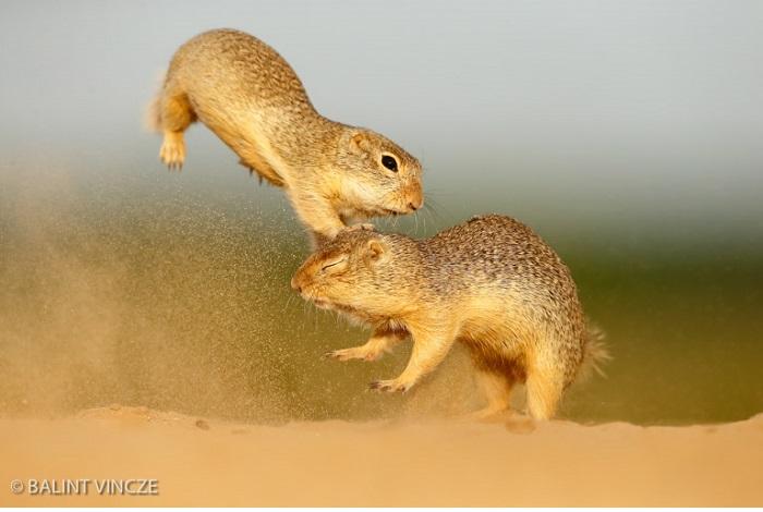 """Catégorie mammifères sauvages en pleine nature """"Expansion"""". © Balint Vincze."""