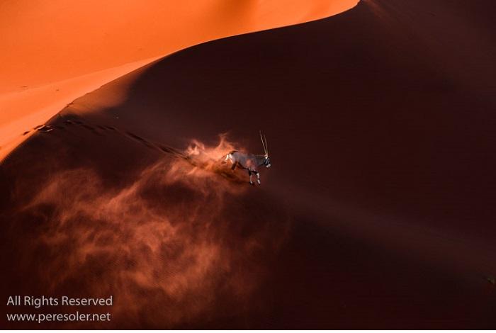 """Catégorie mammifère sauvage de pleine nature """"Oryx escape"""". © Père Soler Isern."""