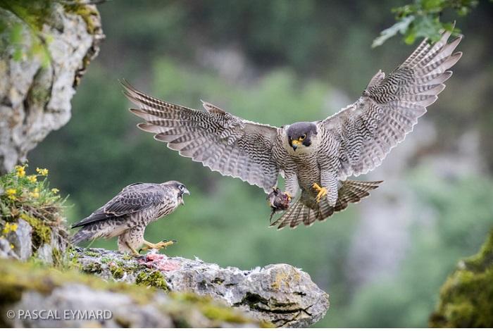 """Catégorie oiseaux sauvages de pleine nature """"L'heure du repas chez les faucons pèlerins"""". © Pascal Eymard."""