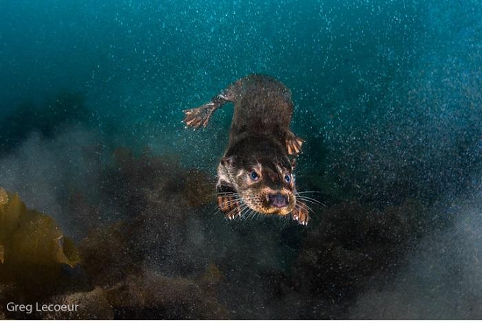 """Catégorie mammifères sauvages de pleine nature """"Loutre sous l'eau"""". © Greg Lecoeur."""