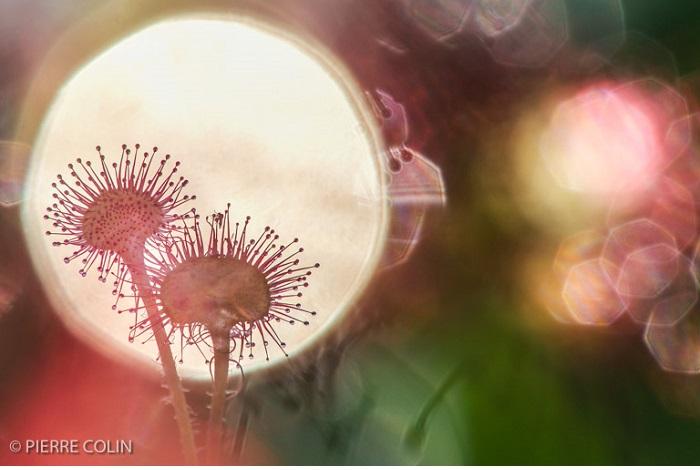 """Catégorie plantes sauvages de pleine nature """"Pris au piège"""". © Pierre Colin."""