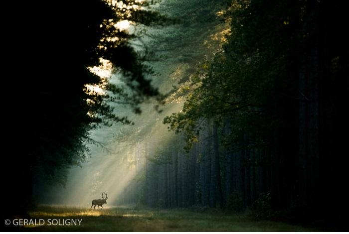 """Catégorie mammifères sauvages de pleine nature """"À travers les pins"""". © Gérald Soligny."""