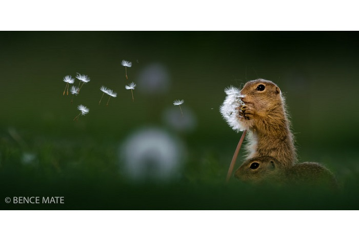"""Catégorie mammifères sauvages de pleine nature """"Dandelion"""". © Bence Mate."""