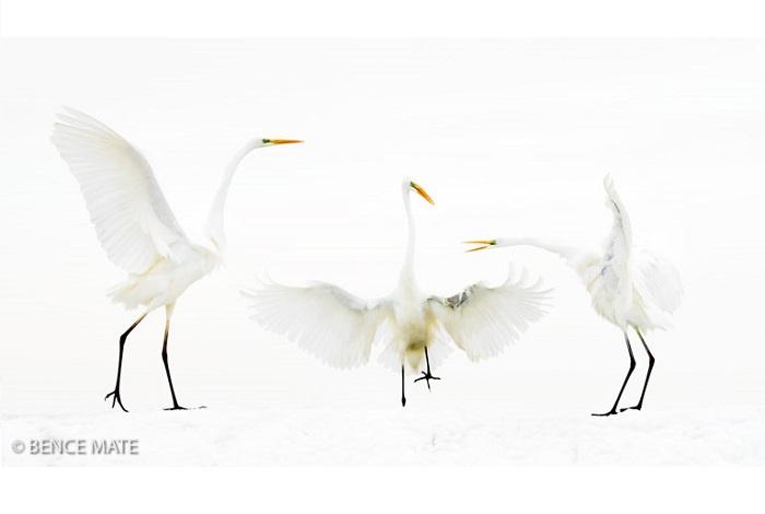 """Catégorie oiseaux sauvages de pleine nature """"Meeting point"""". © Bence Mate."""
