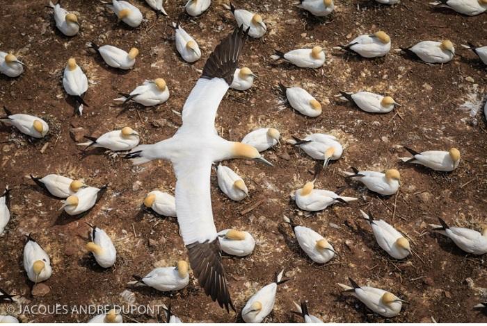 """Catégorie oiseaux sauvages de pleine nature """" Le survol du Fou de Bassan"""". © Jacques-André Dupont."""