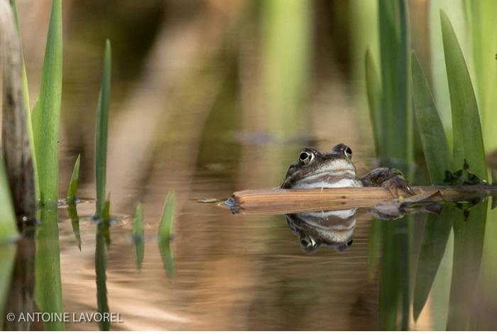 """Catégorie autres animaux sauvages de pleine nature """"Le radeau de la grenouille"""". © Antoine Lavorel."""