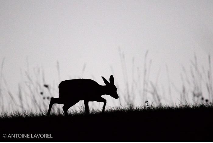 """Catégorie mammifères sauvages de pleine nature """"À pas feutré"""". © Antoine Lavorel."""