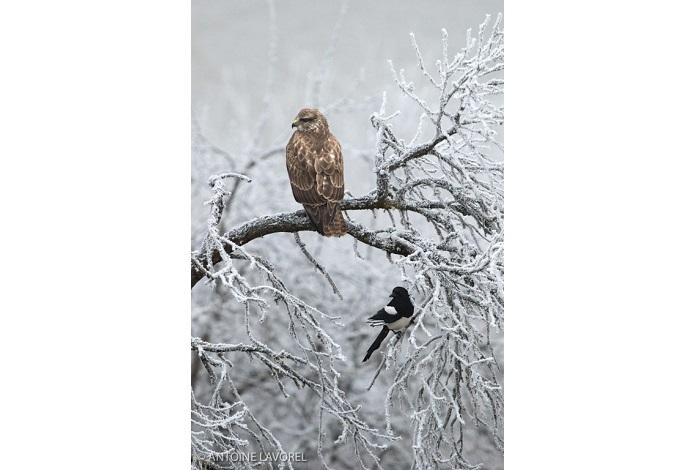 """Catégorie oiseaux sauvages de pleine nature """"La buse et la pie"""". © Antoine Lavorel."""