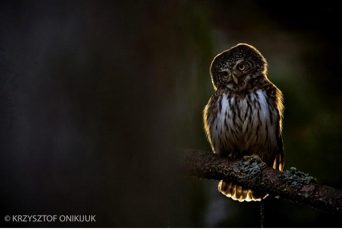"Catégorie oiseaux sauvages de pleine nature ""Another spring in the Bialowieza Forest"". © Krzysztof Onikijuk."