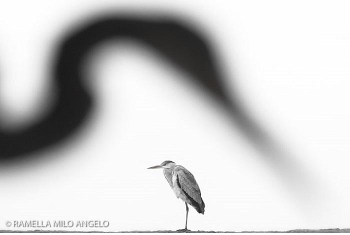 """Catégorie oiseaux sauvages de pleine nature """"Giant"""". © Ramella Milo Angelo."""