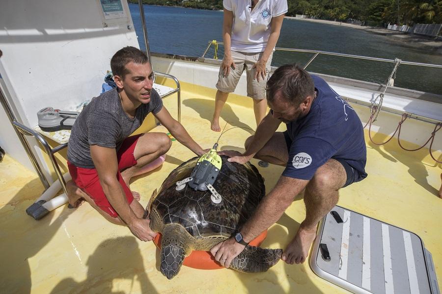 Deux types de balises ont été placées sur les tortues vertes : celles permettant les prises vue vues et les prototypes connectés de l'Ifremer. © Olivier Borde - Exploration de Monaco