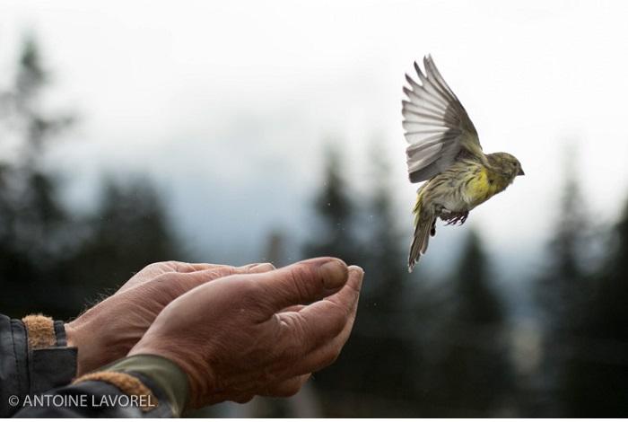 Prix l'homme et la nature - moins de 16 ans - L'envol du serin. © Antoine Lavorel