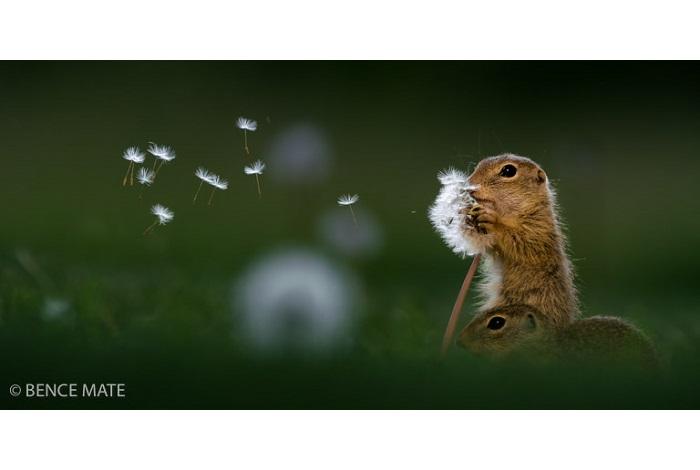 Prix mammifères sauvages de pleine nature - plus de 16 ans - Dandelion. © Bence Mate