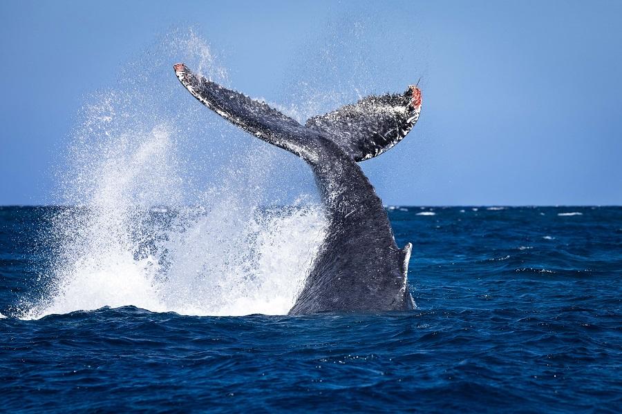 Caudale de baleine à bosse en surface. © Pierre Riboulon