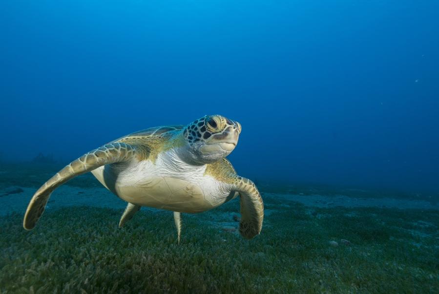 Parce que la zone autour de l'épave est recouverte par un herbier, des tortues ont été observées quotidiennement au cours des recherches. © Mike Harterink