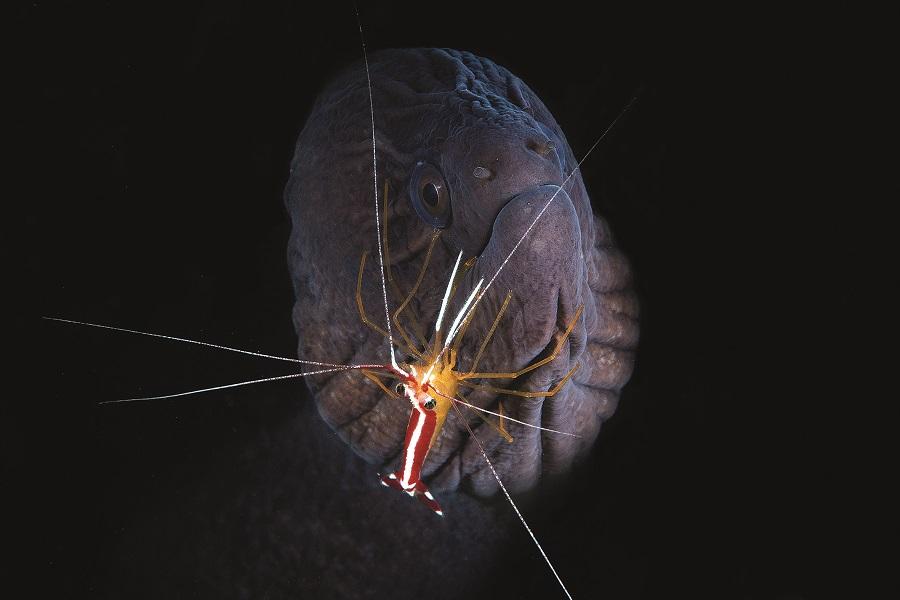 Une alliance nécessaire, une symbiose même entre cette murène et cette crevette nettoyeuse. Profondeur: 65m. © Gaby Barathieu