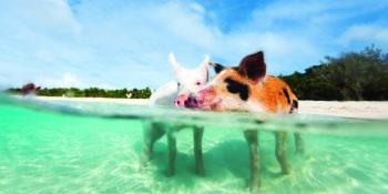 Bahamas cochons qui nagent