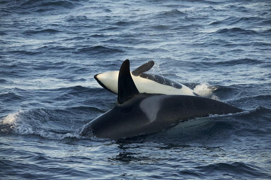 Une orque et son petit. © Pierre Robert de Latour.