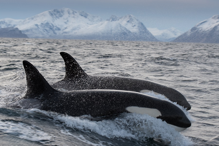 On peut voir des dizaines d'orques sur un même site durant cette période de reproduction des harengs. ©Valhalla Orca Expedition