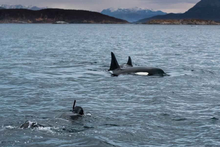 La Norvège est la seul endroit au monde où il est possible de se mettre à l'eau avec les orques. ©Valhalla Orca Expedition
