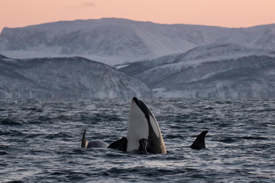 Le spectacles des orques dans les fjords norvégiens. ©Valhalla Orca Expedition