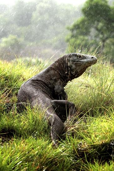 Un dragon de Komodo, endémique du parc National. ©ministère de la culture et du tourisme d'indonésie