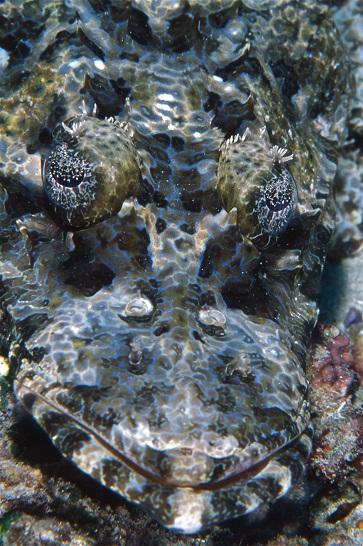 Le poisson-crocodile (Cymbacephalus beaufort) est une des espèces emblématiques des fonds de Komodo. ©Alain Souan