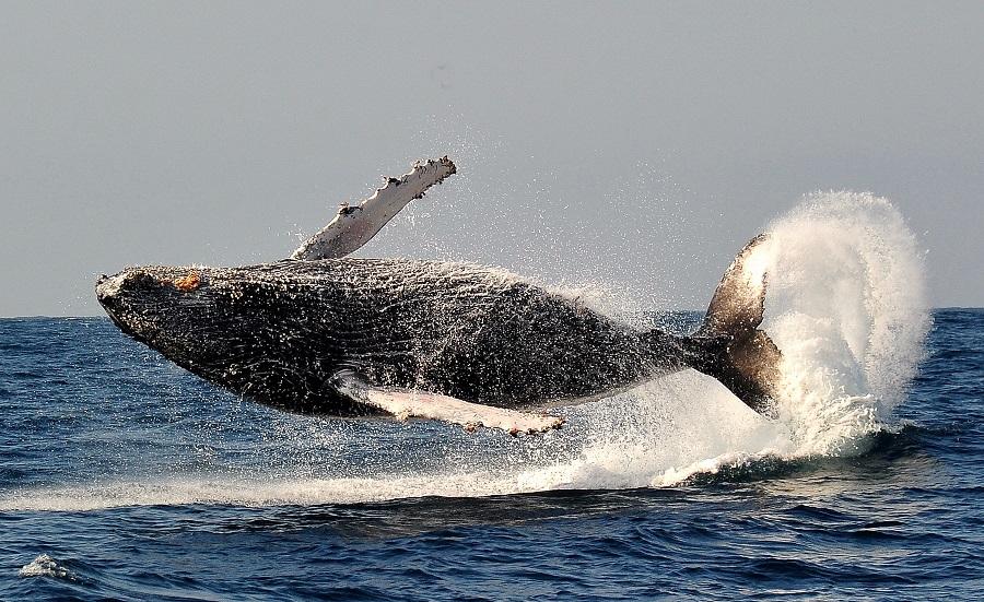 Les baleines à bosse sont également de la partie © Nicolas Barraqué