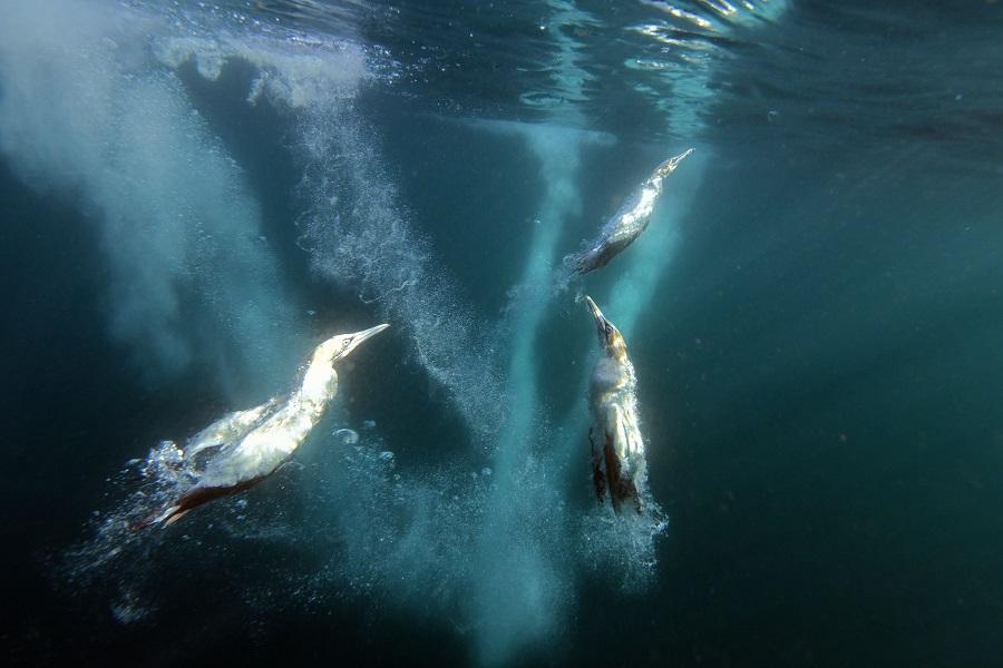Sous l'eau, les fous du Cap se révèlent être de redoutables chasseurs-plongeurs. © Nicolas Barraqué