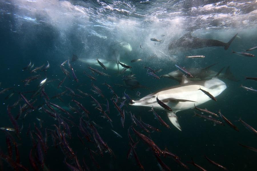 Effervescence sous-marine d'un sardine run. © Nicolas Barraqué