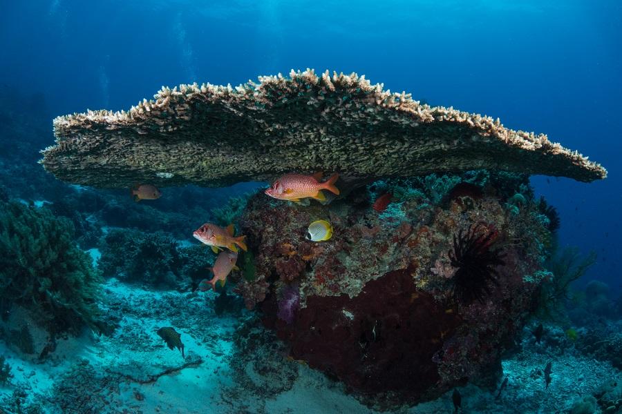 Récifs de Tubbataha. Les coraux sont en parfaite santé, comme en témoigne cette immense table de corail. © Anthony Leydet.