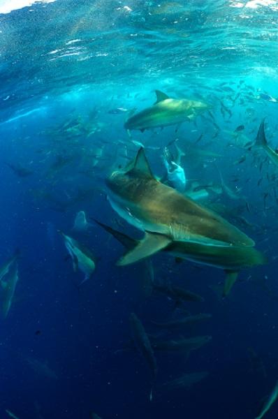 Requins, dauphins, oiseaux, et toutes sortes de poissons pélagiques se regroupent autour de ce même festin. © Nicolas Barraqué