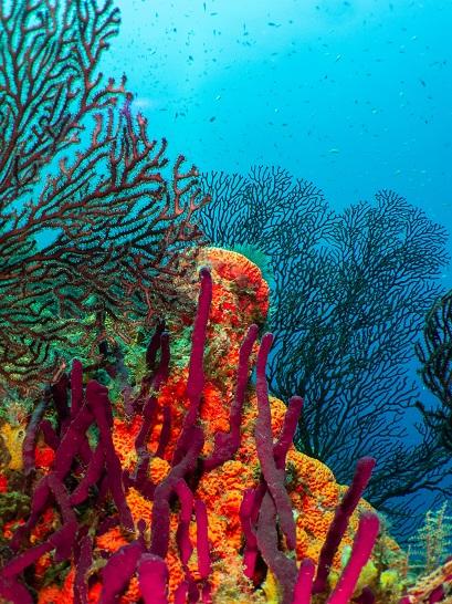 Coraux et gorgones colorés tapissent les fonds de Sainte-Lucie. © Alain Souan