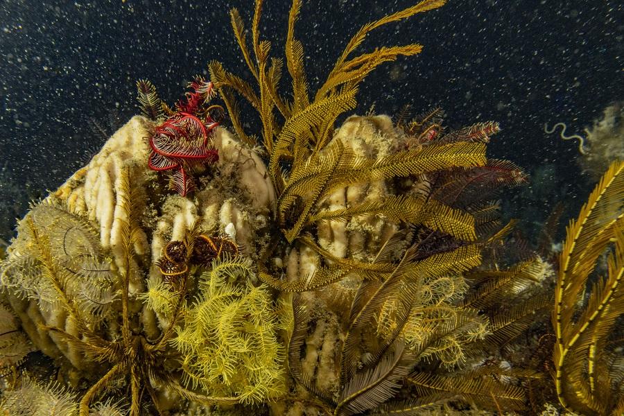 Paysage sous-marin du récif de l'Amazone. © Alexis Rosenfeld