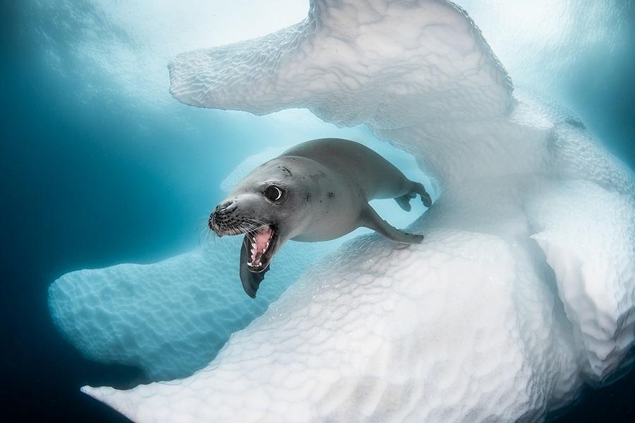 """Crabeater seal"", Antarctique. © Greg Lecoeur / UPY2020"