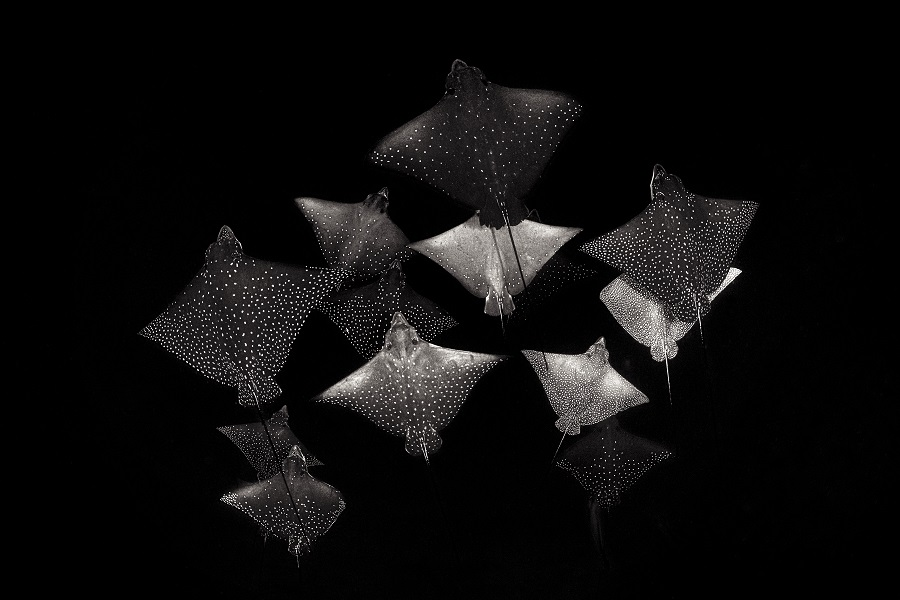 """""""Constellation of eagle rays"""", Maldives. © Henley Spiers / UPY2020"""