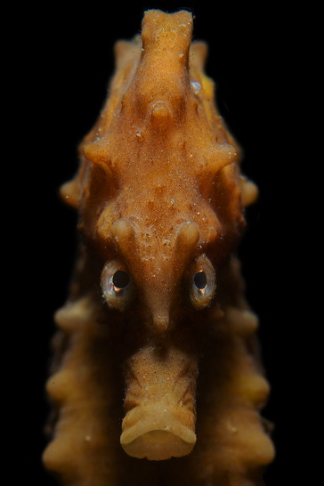 """Angry seahorse"", Pays-Bas. © Rooman Luc / UPY2020"