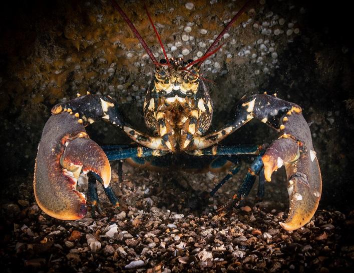 """All in good claws !"", épave du Alaunia (Angleterre). © Martin Edser / UPY2020"