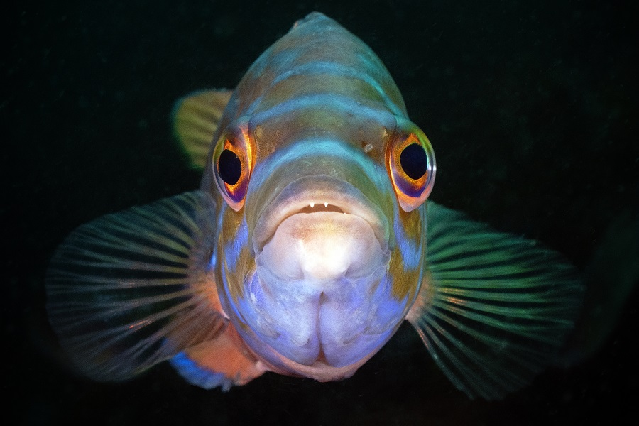 """Cuckoo wrasse head on"", Plymouth (Angleterre). © Trevor Rees / UPY2020"