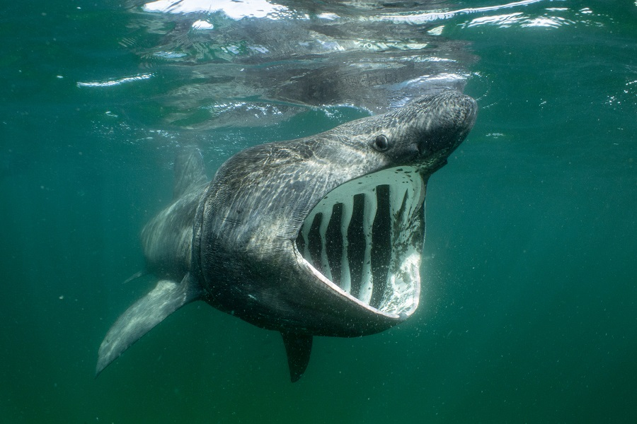 """""""Big mouth, small prey"""", Coll (Écosse). © Will Clark / UPY2020"""
